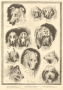Sketches from the dog show at the Crystal Palace. London 1890 antique ILN page